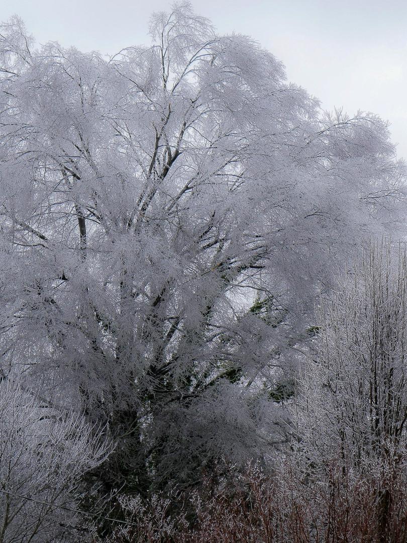Ice tree 1.JPG