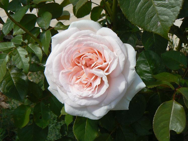 rosier-prince-jardinier-3.jpg