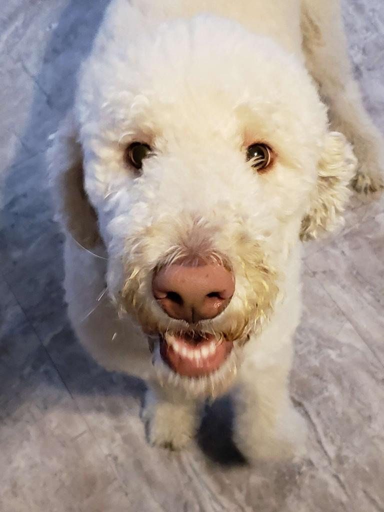 Our white golden doodle Harbaugh; adopt