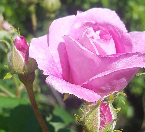 9 Senses Rose petals Extract, cosmetic formulation, 100 % natural, vegan, GMO free