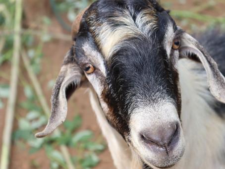 How to keep goats in Sri Lanka