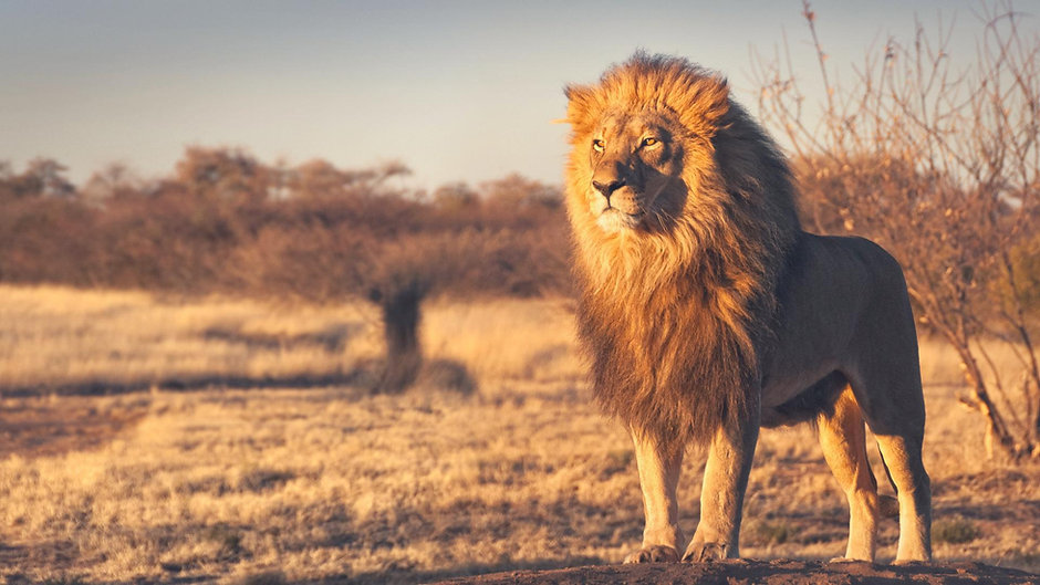 lion-wallpaper-hd-1080p.jpg