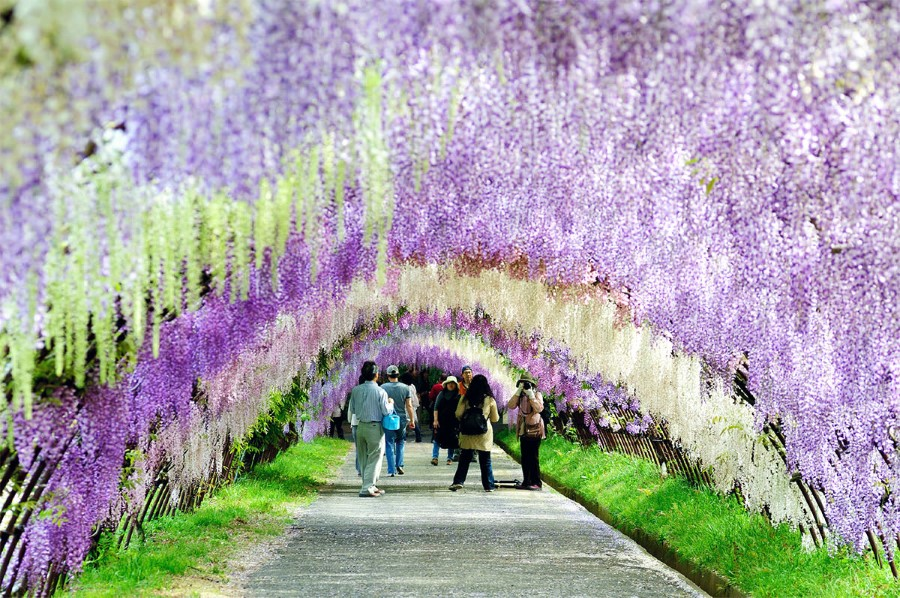 The Wisteria Flower Tunnel of Kawachi fu VISIT JAPAN