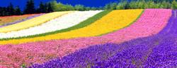 Hokkaido lavender festival VISIT JAPAN