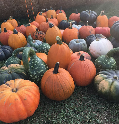 50+ varieties of pumpkins and squash at otter berry farm