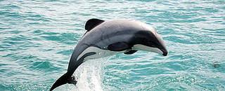 Hector Dolphin