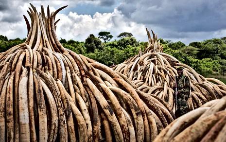 Elephant Tusks