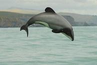Maui Dolphin