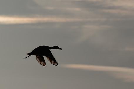 KanwarjitBoparai_pintail_birds.jpg