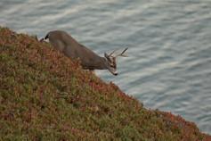 KanwarjitBoparai_deer&ocean_wildlife (2)