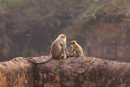 KanwarjitBoparai_langurs_wildlife.jpg