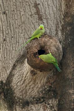 KanwarjitBoparai_indianroseiringedparake