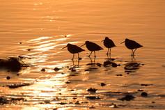 KanwarjitBoparai_willets_birds - Copy.jp