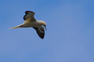 KanwarjitBoparai_redfootedbooby_birds -