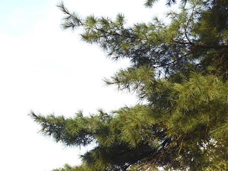 Meet the Versatile White Pine
