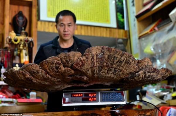 """Fungo gigante da """"imortalidade"""" com 1,07 m de diâmetro e 7,45 Kg foi encontrado na China"""