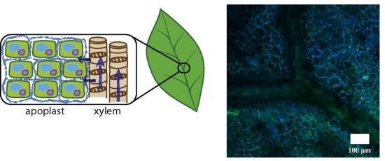 Biobateria: Planta eletrônica viva armazena energia