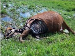 Cortes cirúrgicos são feitos nos animais mutilados.