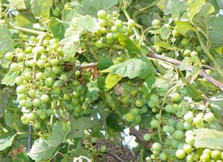 Oklahoma Grapes