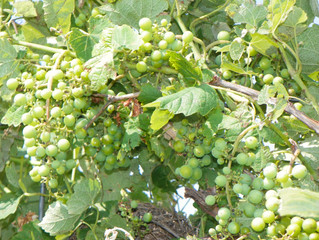 Oklahoma Grapes