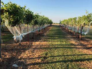 more grape picking tomorrow 8/1/19