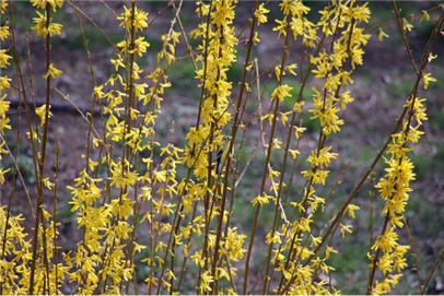 goldfinch blending in with the forsythia