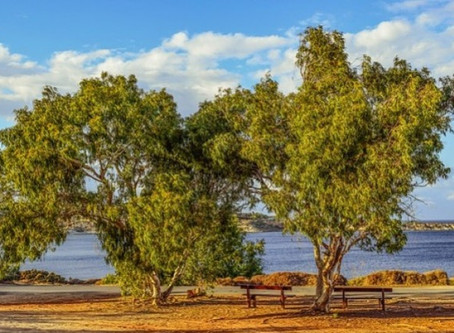 Sheelah's Day: National Eucalyptus Day UK, March 18th