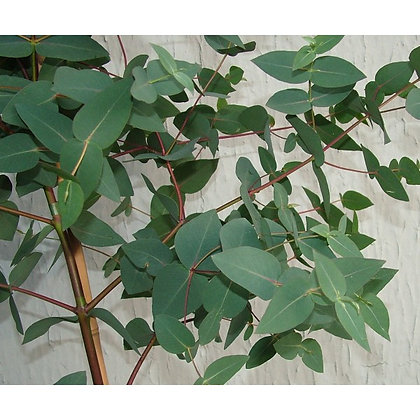 Eucalyptus dalrympleana - Mountain Gum