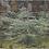 Thumbnail: Eucalyptus pulverulenta 'Baby Blue'