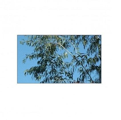 Eucalyptus lacrimans