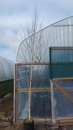 Betula utilis jacquemontii - Himalayan Birch