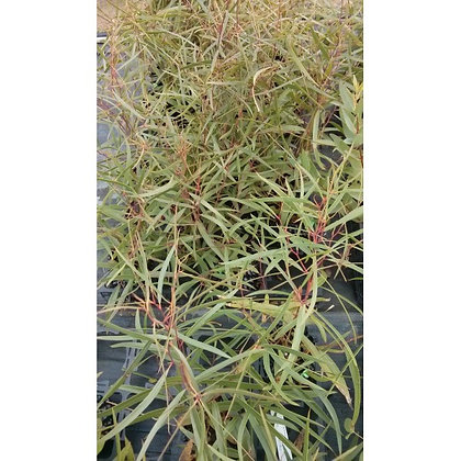 Eucalyptus apiculata