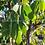 Thumbnail: Eucalyptus stellulata