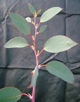 Eucalyptus pauciflora subsp. pauciflora 'Mount Buffalo'