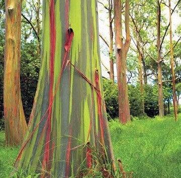 Eucalyptus deglupta - Rainbow Gum