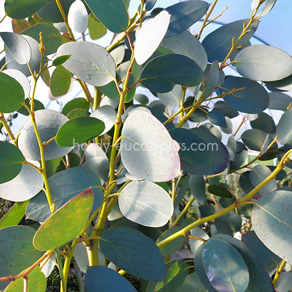 Eucalyptus pauciflora ssp. debeuzevillei - Jounama Snow Gum