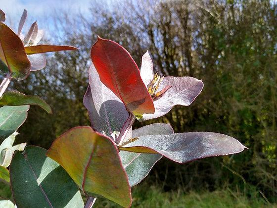 Eucalyptus globulus subspecies Bicostata