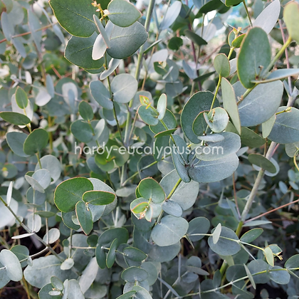 Eucalyptus gunnii ssp. divaricata - Miena Cider Gum
