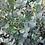 Thumbnail: Eucalyptus gunnii ssp. divaricata - Miena Cider Gum