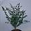 Thumbnail: Eucalyptus gunnii Azura