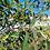 Thumbnail: Eucalyptus ligustrina - Privet Leaved Stringbark
