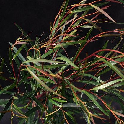 Eucalyptus approximans 'Barren Mountain Mallee, Bell Fruited Ash'