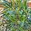 Thumbnail: Eucalyptus moorei subsp. moorei