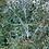 Thumbnail: Eucalyptus coccifera - Tasmanian Snow Gum