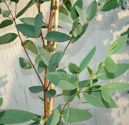 Eucalyptus nitida - smithton peppermint
