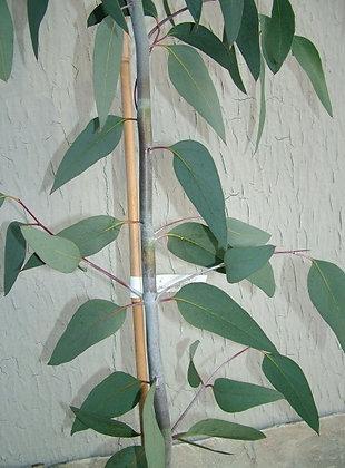 Eucalyptus pauciflora subsp. pauciflora