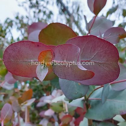 Eucalyptus neglecta - Omeo Gum
