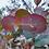Thumbnail: Eucalyptus neglecta - Omeo Gum