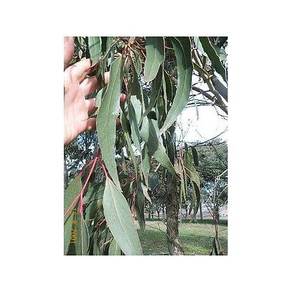 Eucalyptus goniocalyx (dwarf form) - Bundy