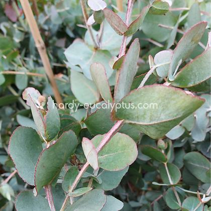 Eucalyptus cordata subsp. quadrangulosa - Heart Leaved Gum